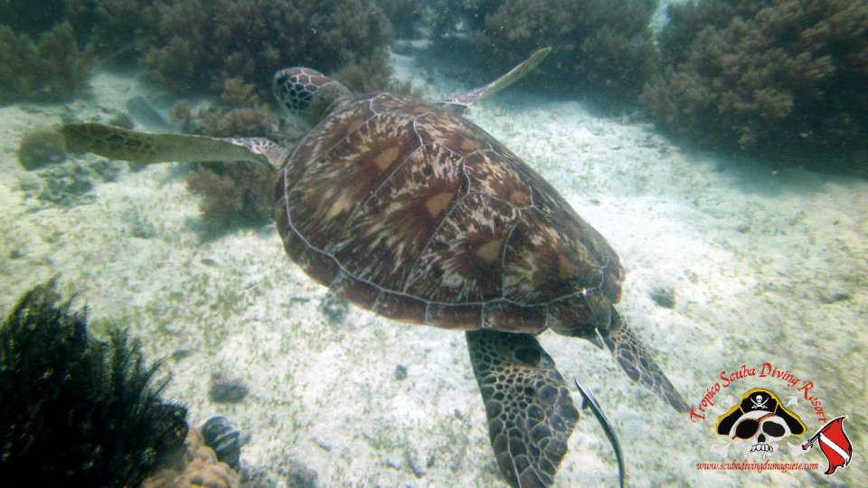 Turtles at Sumilon Island