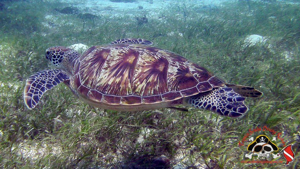 Turtle at Lalaan
