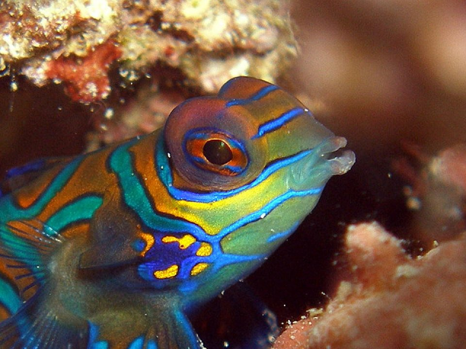 Mandarin fish head detail