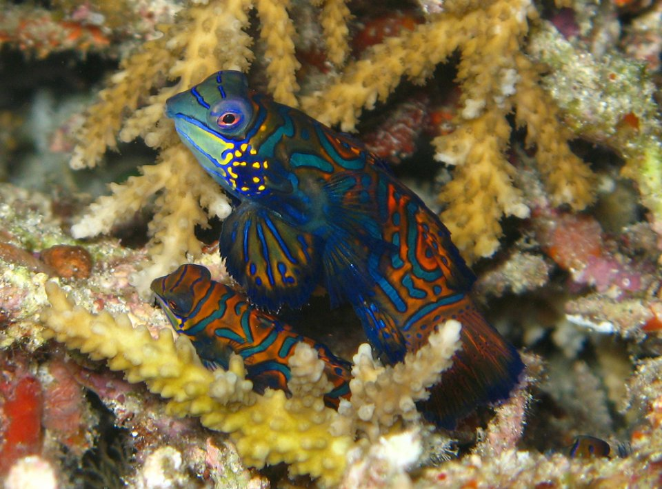 Mandrin fish in corals